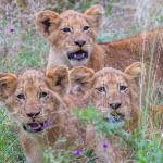 the 3 little cubs - thanks Stefan for getting us so close