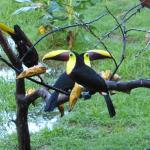 Im Garten vor der Frühstücksveranda steht ein Baum, zu dem tägl. mehrere Tucane und Papageien ko