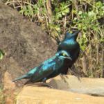 Starlings seen having a sip of water at Nga'Moru