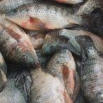 Ulsoor Aquaculture for Commercial fishing Tilapia, carp, catfish