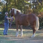 Bonnie our draft horse
