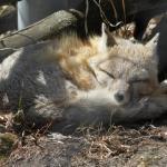 Sleeping fox
