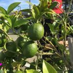We do grow some of our limes!
