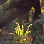 Morning sunlet on ferns by campsite