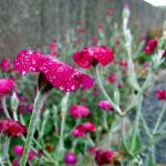 Dew on the Flowers