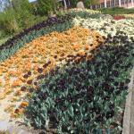 As tulipas desta cidade. Primavera!!!