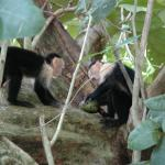 Young Capuchin Monkeys share a snack