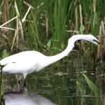 Great Egret Marsh Preserve