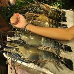 Nice size Lobsters