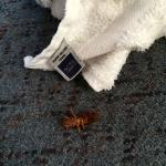 Dead cockroach with hotel towel