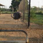 Birds Enclosures in the Resort- Ostrich
