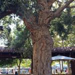 A real live cork tree!