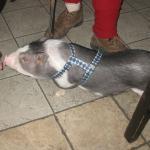 Photo of Black Piglet