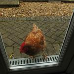 you friendly morning alarm chicken