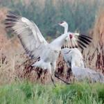 SAND HILL CRANE MATING DISPLAY