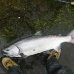 Salmon Chinhook