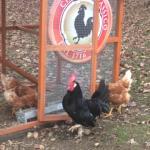 the rooster! Chianti Classico consortio