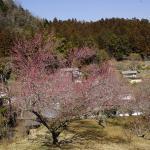 陽当りの斜面によって開花時期がずれるので花見の時期は長いです