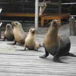 Sea Lion Parade
