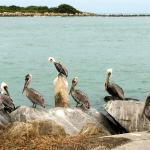 Pelicans outside Inlet restaurant, Fort Pierce