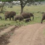 Elephants in Serengeti led by matriarch