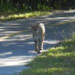1 of 2 bobcats at park entrance 12/13/14
