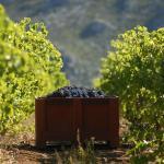 Vendanges manuelles dans des petites caisses pour préserver le raisin...
