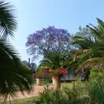 Flowering jacaranda trees add to the beauty
