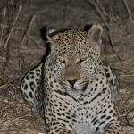 Close encounters with a leopard
