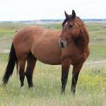 Band stallion Copper