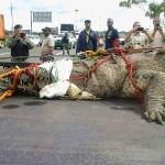 Croc found in Panama Canal Dec 2014