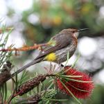 Gurneys sockerfågel