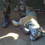 Tigre de 7 meses, el cuidador le pisa la cadena para que no se mueva