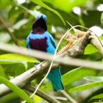 Lovely Cotinga on the road to the Escarpment