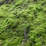 茅葺屋根に生える見事な苔