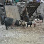 des cochons en liberté