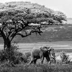 Elephant on the grounds of Ndutu Lodge