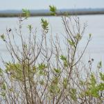 Fort Frederica: Pretty swamp shrub plant.