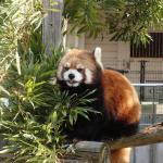レッサーパンダ(動物園)