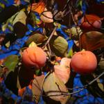 The persimmon harvest