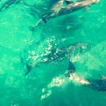 Moreton Bay dolphins saying hello