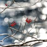 Nanakamado Tree with cherries by the lake