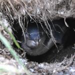 Little Blue Penguin Nesting