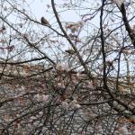 十月桜に飛びかう鳥たち