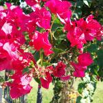 Bougainvilliers