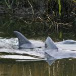 Bottlenosed Dolphins