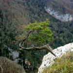 сосна на склоне белых скал