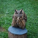 Elsa the Eagle Owl