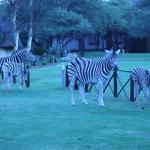 Zebras roaming near the rooms