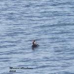 Redhead Duck 12-4-14